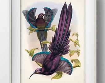Elliot's Sicklebill Bird of Paradise - BP-08 - Fine art print of a vintage natural history antique illustration