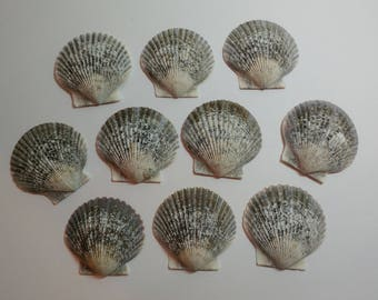 Genuine Scallop Shells - From Crystal River, FLorida - Freshly Caught by me - Shells - Seashells - Grey Seashells - 10 Natural Shells  #121