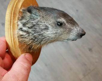 baby woodchuck hoofd mount