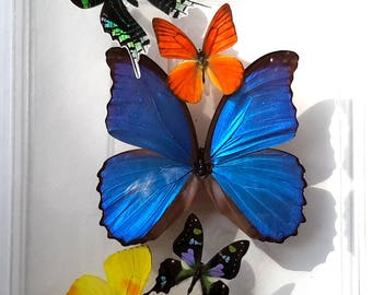 """NEW 8x12"""" butterfly display, framed butterflies, mounted butterflies,real butterfly art, butterflies in acrylic cases"""