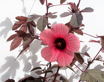 Cranberry Hibiscus, Hibiscus Acetosella 1 well-rooted starter plant! (5 seedlings) Edible leaves