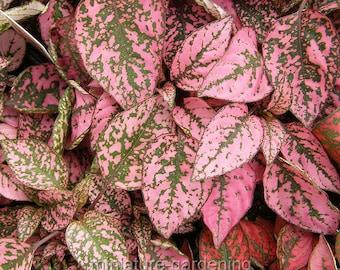 Polka Dot Plant, Hypoestes phyllostachya, Confetti for Miniature Garden, Fairy Garden