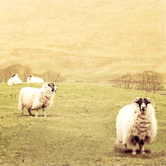 Sheep Photograph Wall Art Print Color Photography Rustic