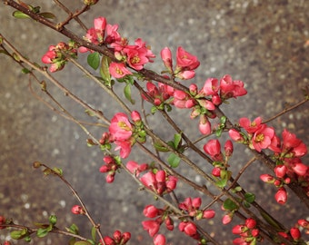 Japanese Quince photo canvas, quince print, quince photo, spring photo, pink blossoms on branches, pink and green, pink and gray, floral