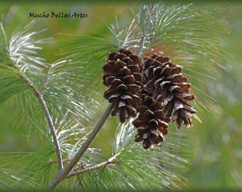 Pine cones in the morning sun