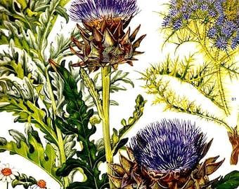 Globe Artichoke Mediterranean Botanical Exotica 1969 Large Vintage Illustration To Frame 40