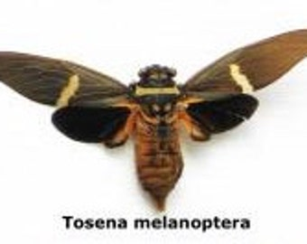 Real Tosena melanoptera cicada Unmounted Spread Ready for your Project DIY