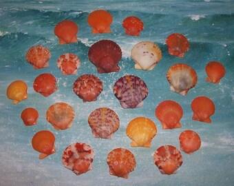 25 Florida Gulf BEACH Collected Orange CALICO Scallop SEASHELLS