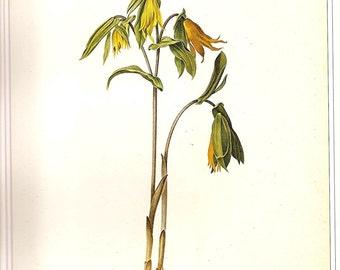 REDOUTE Vintage 1990 FLOWERS Color Art Print Botanical Original Book Plate 30 Uvularia Perfoliata Beautiful Yellow Orange Flowers Plant