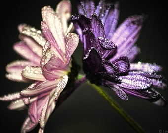 "Flower Photography - two daisies with raindrops, flowers, winter, purple and pink, flower wall prints, purple wall decor -  ""Held Up"""