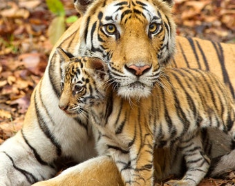 BABY TIGER and MOM Photo, Baby Nursery Print, Mom and Baby Animal Photograph, Nursery Wall, Kids Room Decor, Nursery Art Print, Safari, Cute