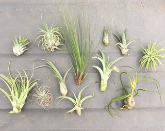 "15 pc Assorted ""TLC"" Tillandsia Air Plants - Seconds Quality, Wholesale Prices, Minor Imperfections"