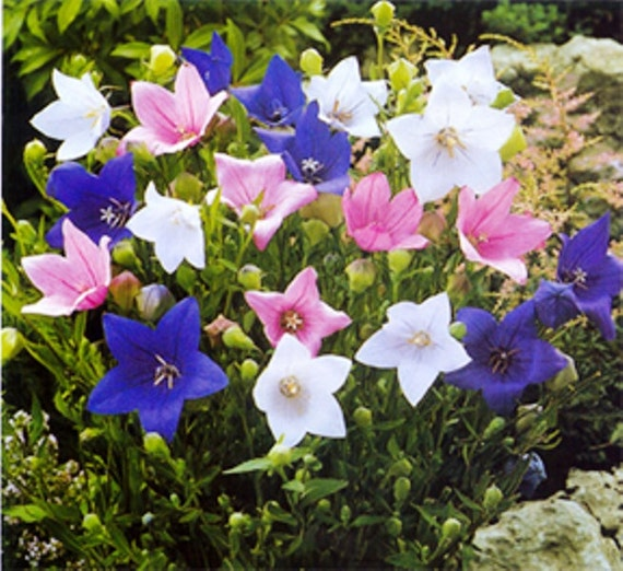 Balloon flower seeds mixed blue pink and whitechinese bell mightylinksfo