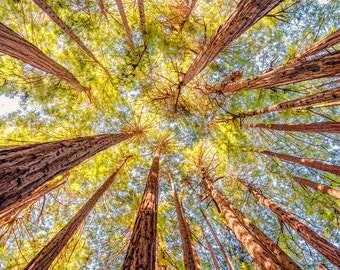 California Redwood Trees Photography Print Central California Landscape  Fine Art Photograph Wall Decor   Also Available on Canvas or Metal