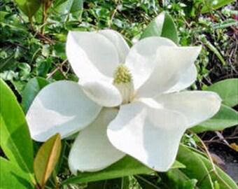 Southern Magnolia Grandiflora Tree *  Seeds ... seeds galore