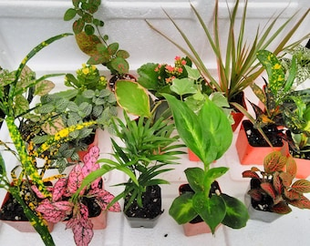 Terrarium & Fairy Garden Plants - 8 Plants in 2.5 (Approximately 4 to 6 Inches Height of the Plant) (FREE SHIPPING)