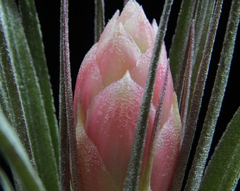"""Airplant/Tillandsia stricta """"Hybrid""""-Beautiful Purple-Gray Foliage and Pink Buds"""