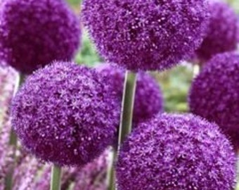 Allium Gigantic
