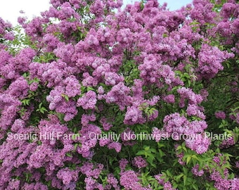 "1 Purple Old Fashion Lilac Bush - Potted Plant - The Most Fragrant Lilac - 20 - 30"" Tall"