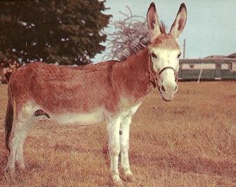 Vintage 1960's Donkey Postcard
