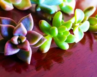 Succulent Cuttings - Small, Medium, or Large