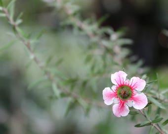 Tea Tree Blossom // Flower // Background // Digital Download
