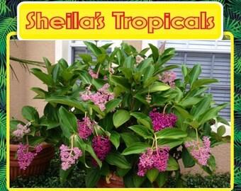Malaysian Orchid or Malaysian Grapes - Medinilla 'Myriantha'  >>> Summer Sale Pricing <<<
