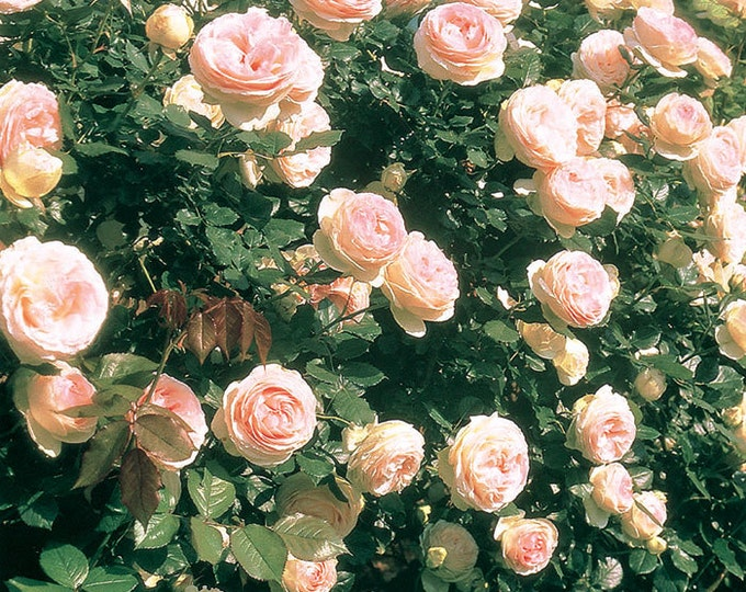 Eden ® Climber Rose Bush 40+ Petals Pink Climbing Rose Plant Organic Grown Potted - Own Root SPRING SHIPPING
