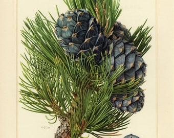 Vintage lithograph of the Swiss pine, Swiss stone pine or arolla pine from 1958
