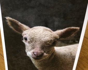 Southdown Lamb - 1