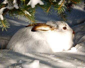 Hare in Winter snow.