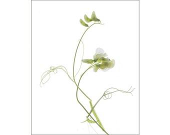 Sweet Pea Art, Sweet Pea Botanical Print, White Flower Decor, Flower Photography