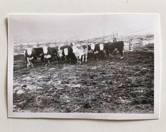 Original Vintage Photograph | Cattle Ranch