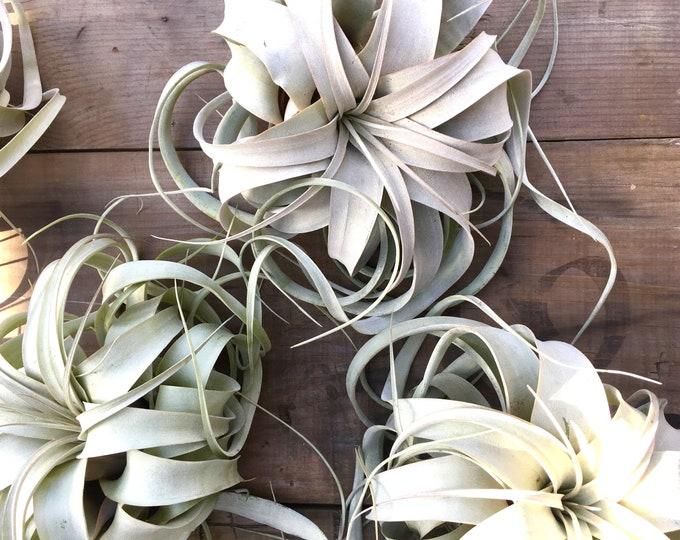 Featured listing image: Real Jumbo Air Plants