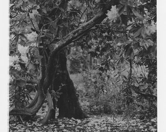 Pollok Park, Glasgow | Hand made black and white darkroom (silver) print on 10 x 8 inches archival paper | Unique blossom | Limited edition