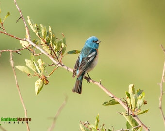 Lazuli Bunting, Songbird Photography, Bird Photographs, Bunting Images, Wildlife Images, Nature Photography, Bird Pictures, Bunting Images.