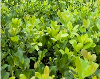 Yerba mate - Ilex paraguariensis Live Plant great for making beverages