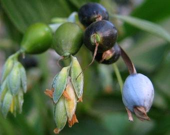 Job's Tear, Coix lacryma-jobi, 5 seeds