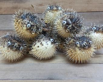 4'' to 5'' Porcupine Blowfish, 12 Pieces