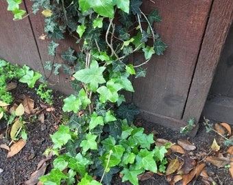 Organic Live California USA English Ivy Cuttings