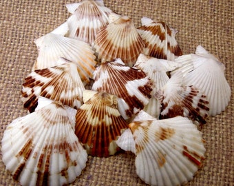 Beautiful Pecten Tranquebaricus Half Shell (RK5B1a)