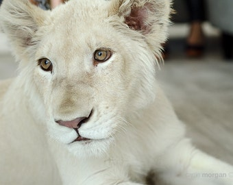 White Lion Photography, Wild Animal Photography, Lion Cub Photo, Baby Animal Wall Art, Safari Decor, Lion Art, Baby Lion Photo Print