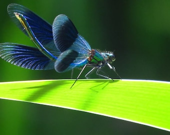 Framed Photograph : TRANSIENT BLUE. damselfly / dragonfly