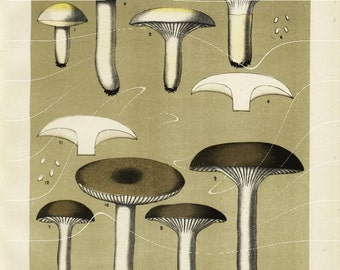 Original  Antique Botanical Edible Fungi Print