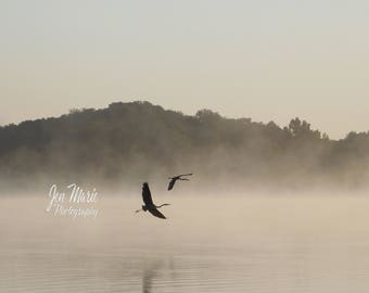 Great Blue Herons in Flight On a Foggy Morning 8x10 Print Picture Photo