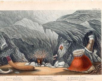 1860 Antique Sea Life Print Sea Anemones Marine Life Ocean Lithograph