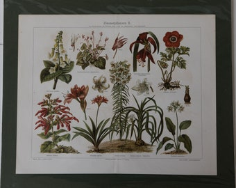 Old Print Houseplants 2  Lithograph