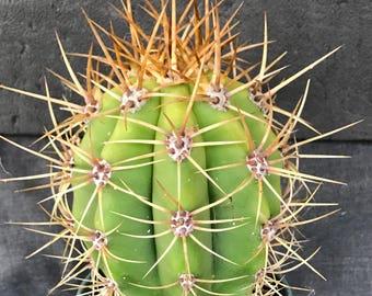 Amazing Arginetine Saguaro Cactus Succulent-Rooted