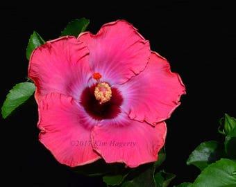 Hibiscus 0200  Pink