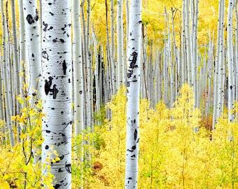Aspen trees fall, fall tree photo, aspen tree decor, Colorado art, rustic wall decor, log cabin art, fall leaves photo | Miles of Gold H